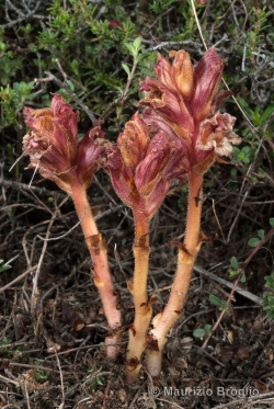 Orobanche alba Stephan ex Willd.