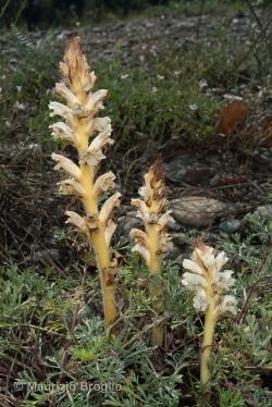 Orobanche artemisiae-campestris Gaudin