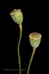 Immagine 5 di 5 - Papaver rhoeas L.