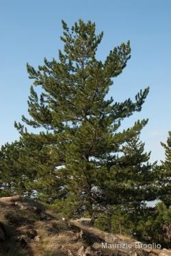 Pinus nigra J.F. Arnold