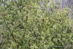 Pinus wallichiana A.B. Jacks.