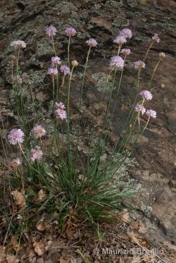 Armeria arenaria (Pers.) Schult.