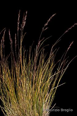 Bellardiochloa variegata (Lam.) Kerguélen
