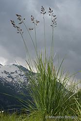 Immagine 1 di 6 - Patzkea paniculata (L.) G.H. Loos