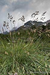 Immagine 2 di 6 - Patzkea paniculata (L.) G.H. Loos