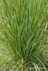 Immagine 3 di 6 - Patzkea paniculata (L.) G.H. Loos