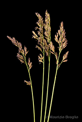 Immagine 5 di 6 - Patzkea paniculata (L.) G.H. Loos
