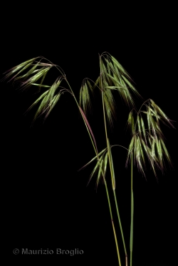 Anisantha tectorum (L.) Nevski