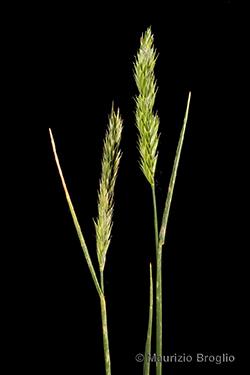 Agropyron desertorum (Fisch. ex Link) Schult.