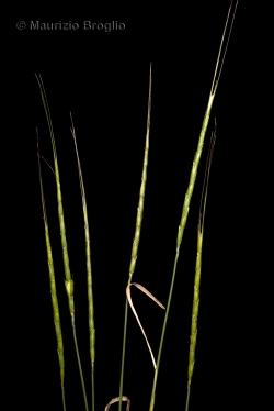 Triticum cylindricum (Host) Ces., Pass. & Gibelli