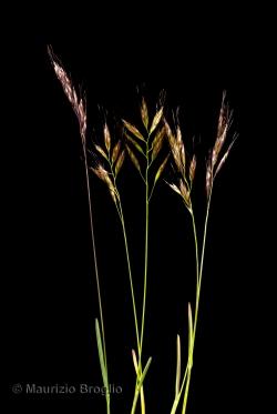 Helictochloa versicolor (Vill.) Romero Zarco