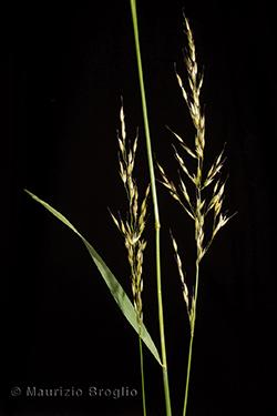 Arrhenatherum elatius (L.) P. Beauv. ex J. Presl & C. Presl