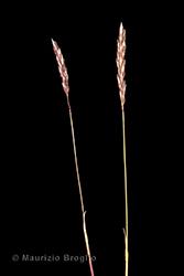 Immagine 2 di 5 - Koeleria cenisia Reut. ex E. Rev.