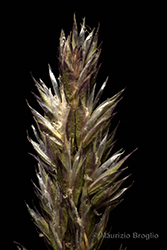 Immagine 5 di 5 - Koeleria cenisia Reut. ex E. Rev.
