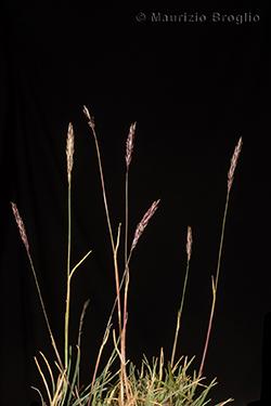 Koeleria cenisia Reut. ex E. Rev.