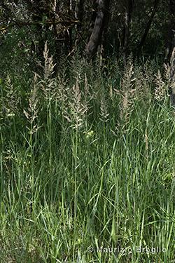 Calamagrostis epigejos (L.) Roth