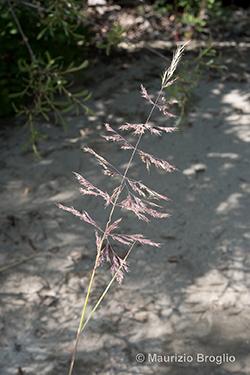 Calamagrostis pseudophragmites (Haller f.) Koeler