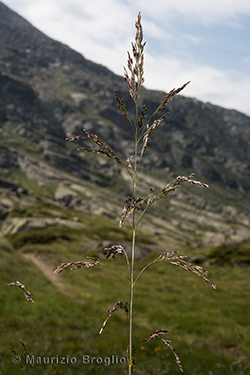 Deschampsia cespitosa (L.) P. Beauv.