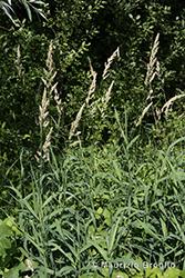 Immagine 1 di 5 - Phalaris arundinacea L.