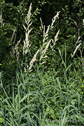 Immagine 2 di 5 - Phalaris arundinacea L.
