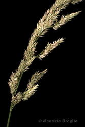 Immagine 5 di 5 - Phalaris arundinacea L.