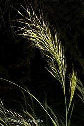 Immagine 4 di 8 - Achnatherum calamagrostis (L.) P. Beauv.