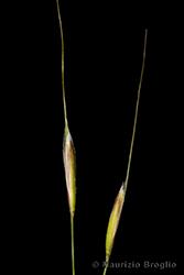 Immagine 7 di 8 - Achnatherum calamagrostis (L.) P. Beauv.