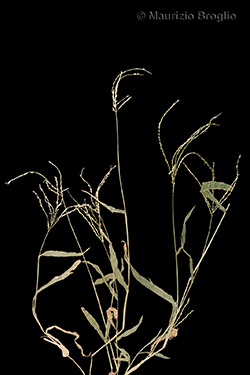 Digitaria sanguinalis (L.) Scop.