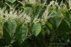 Reynoutria bohemica Chrtek & Chrtková