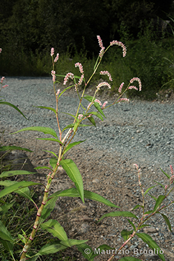 Persicaria maculosa Gray