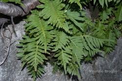 Polypodium cambricum L.
