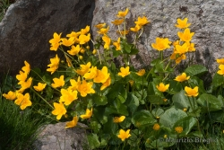 Caltha palustris L.