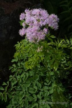 Thalictrum aquilegiifolium L.