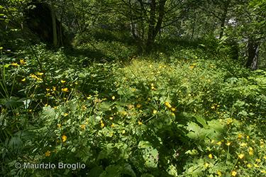 Immagine 1 di 10 - Ranunculus lanuginosus L.