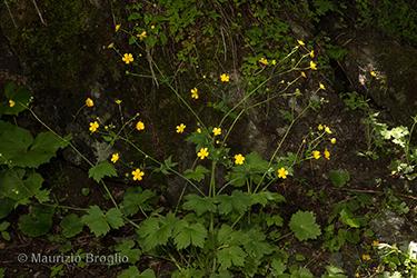 Immagine 3 di 10 - Ranunculus lanuginosus L.