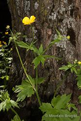 Immagine 4 di 10 - Ranunculus lanuginosus L.