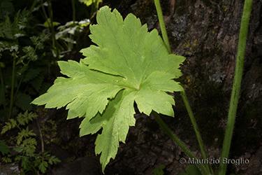 Immagine 6 di 10 - Ranunculus lanuginosus L.