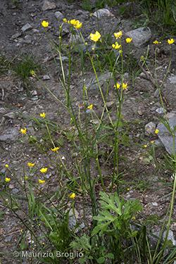 Ranunculus polyanthemophyllus W. Koch & H.E. Hess