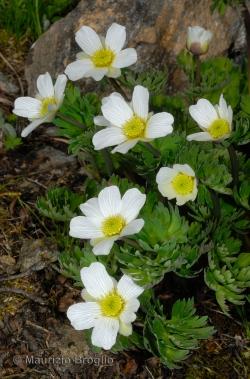 Callianthemum coriandrifolium Rchb.