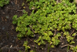 Aphanes australis Rydb.