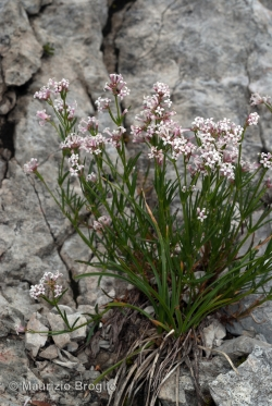 Asperula cynanchica L.