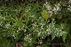 Galium aristatum L.