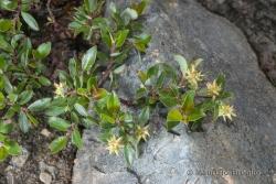 Salix foetida Schleich.