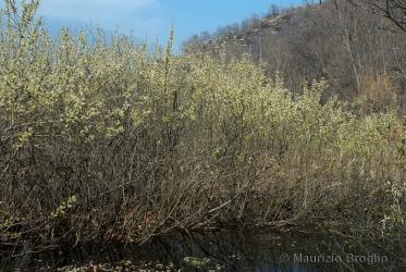 Immagine 1 di 11 - Salix cinerea L.