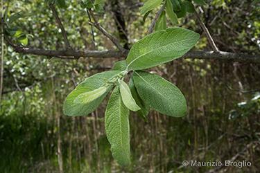 Immagine 4 di 11 - Salix cinerea L.