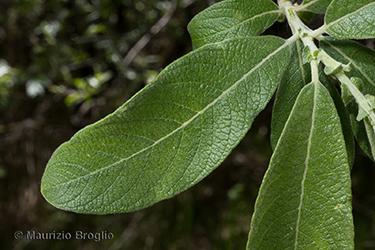 Immagine 5 di 11 - Salix cinerea L.