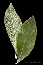 Immagine 6 di 11 - Salix cinerea L.