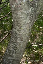 Immagine 7 di 11 - Salix cinerea L.
