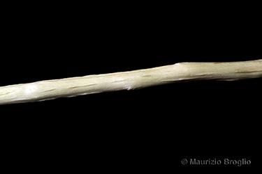 Immagine 10 di 11 - Salix cinerea L.