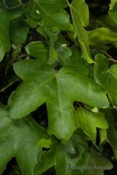 Immagine 1 di 3 - Acer campestre L.